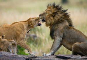 Кения львы